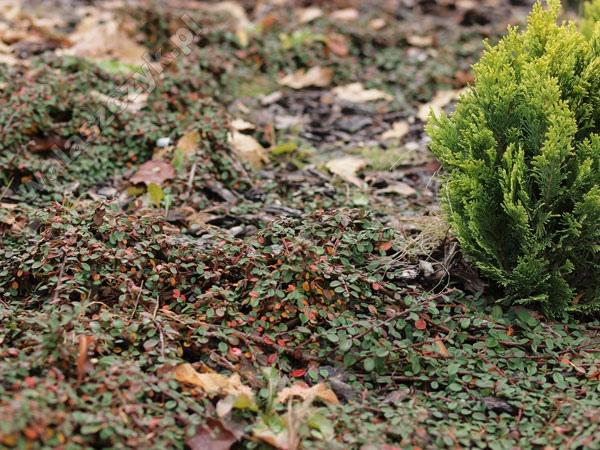 Szk ka krzew w ozdobnych mgr in alek - Cotoneaster procumbens queen of carpets ...